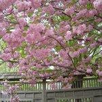 Cherry blossom - double petal