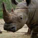 beautiful white rhino