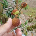 Lychee fruit: you HAVE to try it!