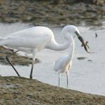 Two egrets, one feeding