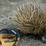 a little echidna, chilling next to our room!