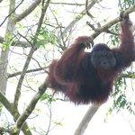 wild dominant male orang utan on river between Abai and Kinabatangan riverside lodges.