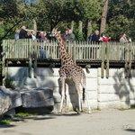 les girafes tt de suite à l'entrée
