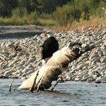 Bald eagle on the river