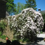 Clematis in the garden of Staunton House