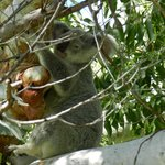 Koala - just off property