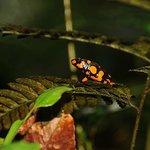 Dendrobates histrionicus, en la caminata por la selva chocoana
