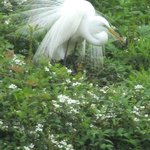 Great Egret with feathers spread!