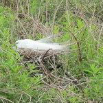 nesting Egret