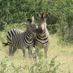 up close and personal with the zebras