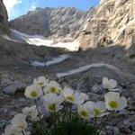 Alpenmohn am Blaueisgletscher