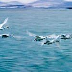Oriental Swan Lake