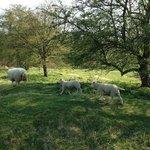 Hill 60 - sheep grazing