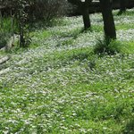 Daisies in the olive grove
