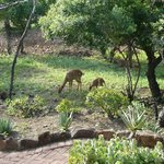 Nyala grazing outside our room