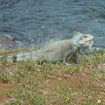 Iguane à Pointe Noire