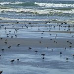 Migrating shore birds on the beach