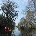 a tall bald cypress on the left