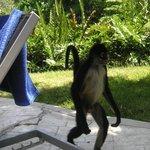 A monkey walking by the pool