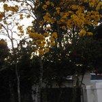 Ipê em Flor- Pouso Francês
