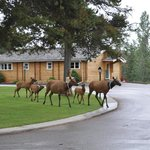 elk parade through resort.  why go out looking for them