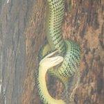 Charm Churee snake