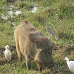 Wild Boar and Egrets