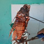 Scuba guy caught a lionfish