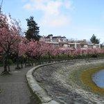 八重桜の並木道