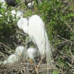 mother and her babies (White Egret)