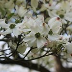 Close up of Dogwood Blooms