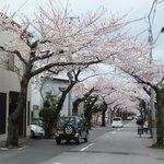 桜のトンネル。