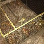 Lobsters in the trap at Cambusa.