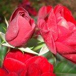 Rosas del jardín