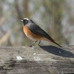 One of the first birds we encountered... This was a redstart, IIRC