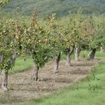 Shayidong Pear Orchard