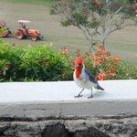 friendly bird on lanai and tiller on golf course