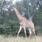 Giraffe sighting