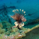 lion fish at a wreck site