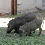 Haus und Hof Warzenschweine