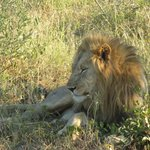 Male lion/Madikwe