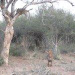 Leopard & Hyena/Madikwe