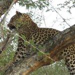 Leopard/Madikwe