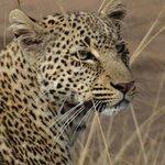 Einmalig schön, das Gesicht eines Leoparden
