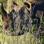 Das in der Mara seltene Rhino fehlt oft für die BIG FIVE