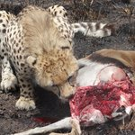 Ein junger Gepard mit seiner Beute