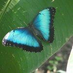 Morpho ?? Butterfly