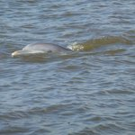 Dolphins swim near the morning ferry