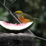 Silver-throated tanager in the hotel garden