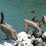 Up close with the pelicans on the boardwalk